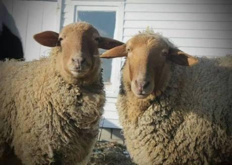christine egidio sheep
